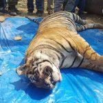 Tiger Found Dead In Rajasthan - Sariska - The Poacher Farmer Arrested