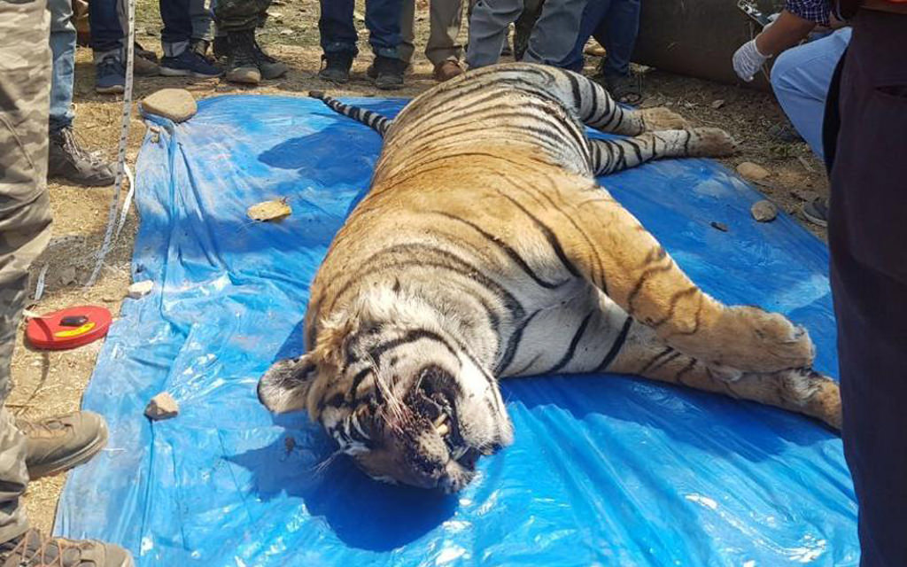 Tiger Found Dead In Rajasthan - Sariska - The Poacher Farmer Arrested